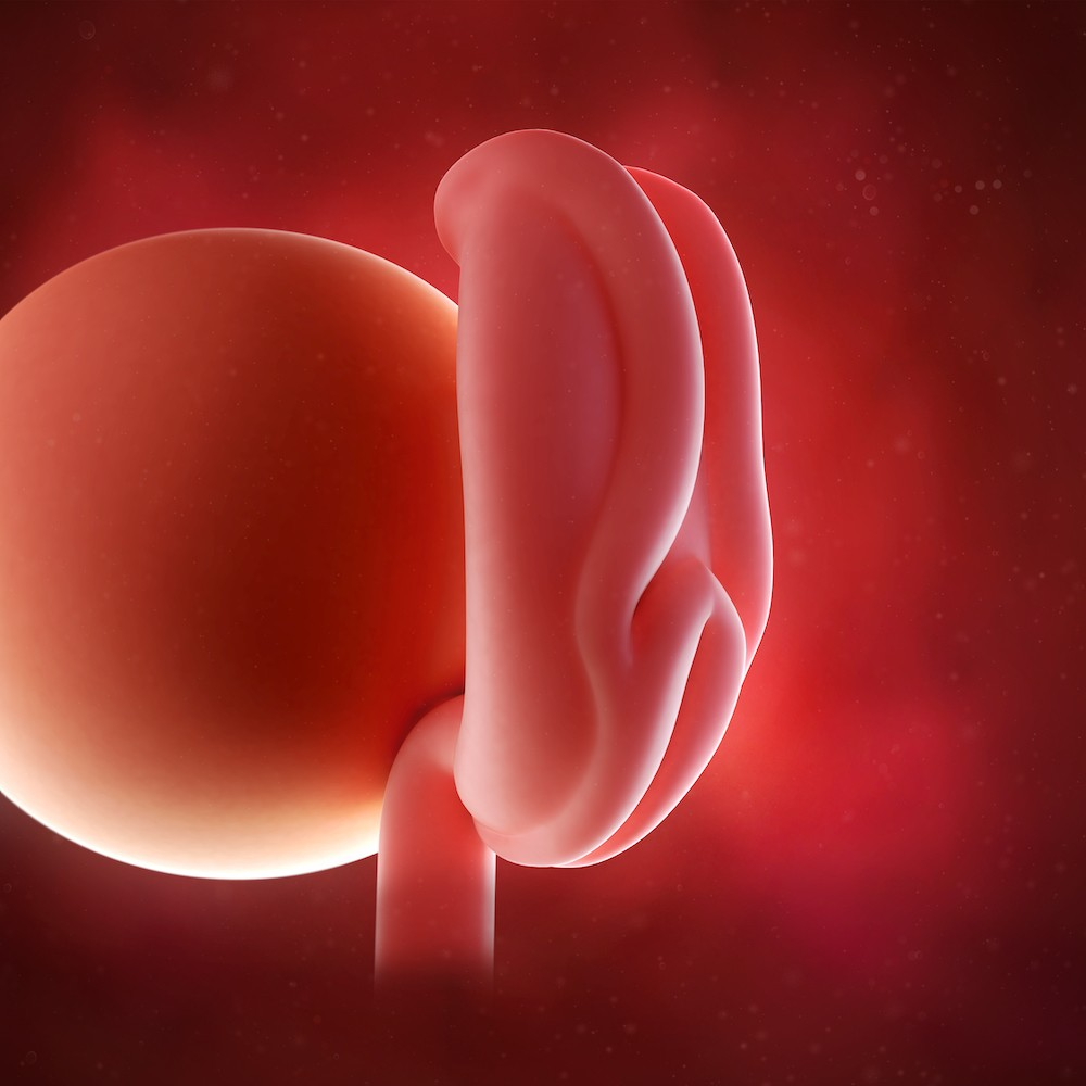 Embrion krajem 4. nedelje trudnoće